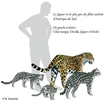 Les f lins de guyane - Bebe du jaguar ...